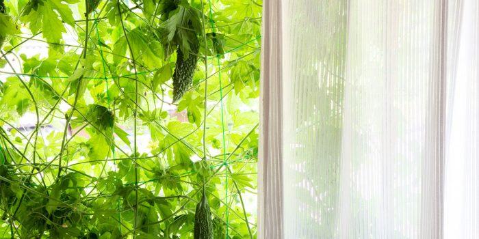 ゴーヤーの遮光カーテンで暑い夏を快適に乗り切ろう!